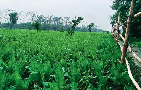 Where Heroin is villain-Vast fields of illegal poppy crop at Gopalgunj in West Bengals Malda district